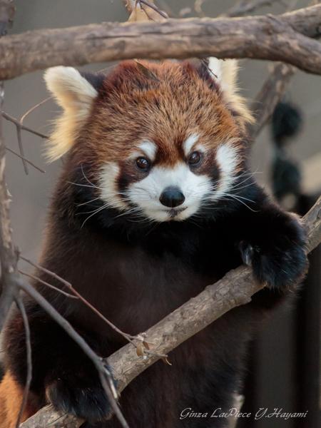 動物のいる風景 上野動物園 レッサーパンダ_b0133053_0512776.jpg