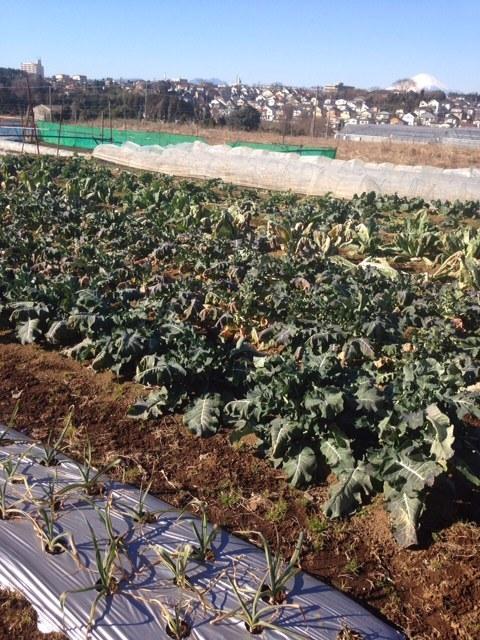 今朝は 飯田&田中 2名作業です・。 フェンネルの古い枝の剪定&カリフラワーの畝の整頓_c0222448_18091165.jpg