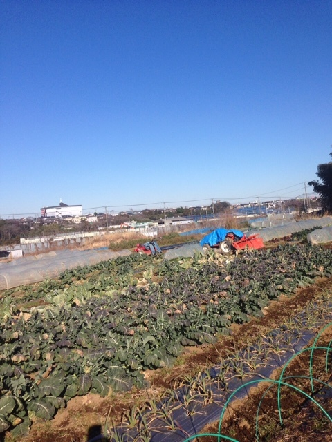 今朝は 飯田&田中 2名作業です・。 フェンネルの古い枝の剪定&カリフラワーの畝の整頓_c0222448_18113666.jpg