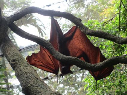 c0212604_22231480.jpg オオコウモリが可愛いことについて@シンガポール動物園