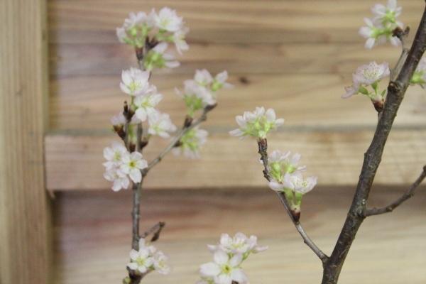 啓翁桜が咲きました。_f0227395_15174477.jpg