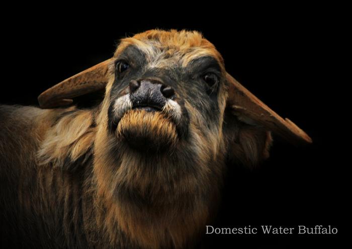 アジアスイギュウ:Domestic Water Buffalo_b0249597_53673.jpg