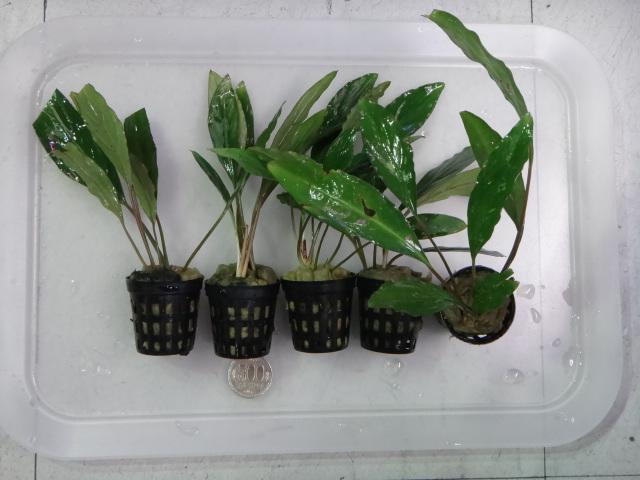 150115 熱帯魚・水草・観葉植物_f0189122_13164596.jpg
