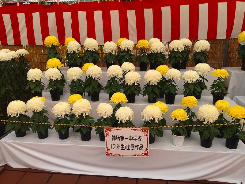神栖市菊の会 粕谷さんご夫妻が菊づくりで 大臣賞W受賞!_f0229750_1652359.jpg