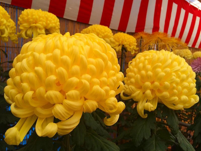 神栖市菊の会 粕谷さんご夫妻が菊づくりで 大臣賞W受賞!_f0229750_16583636.jpg