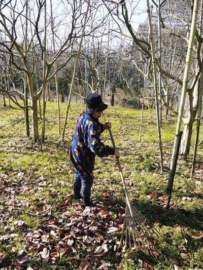 太秋柿 今年も徹底して落ち葉を集め、病気や害虫を防ぎます_a0254656_17165331.jpg