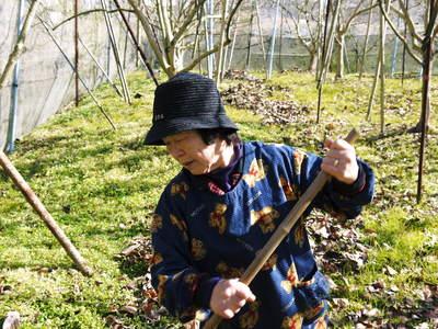 太秋柿 今年も徹底して落ち葉を集め、病気や害虫を防ぎます_a0254656_17225915.jpg