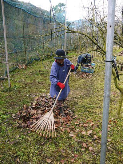 太秋柿 今年も徹底して落ち葉を集め、病気や害虫を防ぎます_a0254656_17372994.jpg