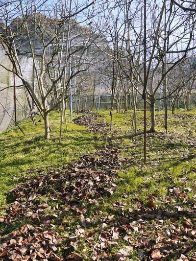 太秋柿 今年も徹底して落ち葉を集め、病気や害虫を防ぎます_a0254656_1744791.jpg