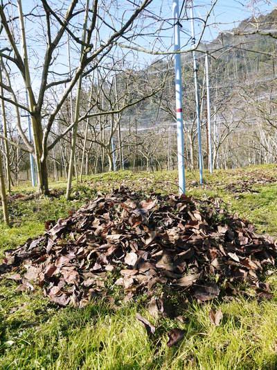 太秋柿 今年も徹底して落ち葉を集め、病気や害虫を防ぎます_a0254656_17565468.jpg