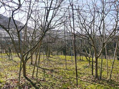 太秋柿 今年も徹底して落ち葉を集め、病気や害虫を防ぎます_a0254656_1804477.jpg