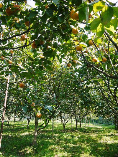 太秋柿 今年も徹底して落ち葉を集め、病気や害虫を防ぎます_a0254656_1810082.jpg