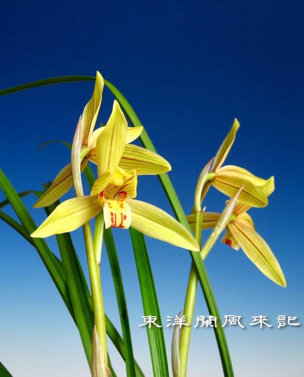 奥地蘭・蓮弁蘭「黄金郷」               No.1465_d0103457_1344134.jpg