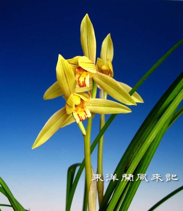 奥地蘭・蓮弁蘭「黄金郷」               No.1465_d0103457_1345447.jpg