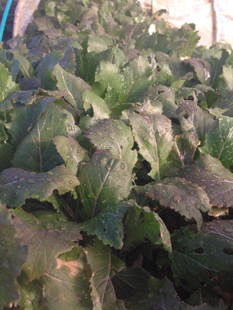 昨日の雨で野菜達は機嫌が良い表情・・_c0222448_18233894.jpg