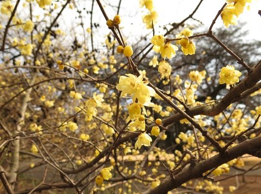 蝋梅の花_c0192215_17422923.jpg