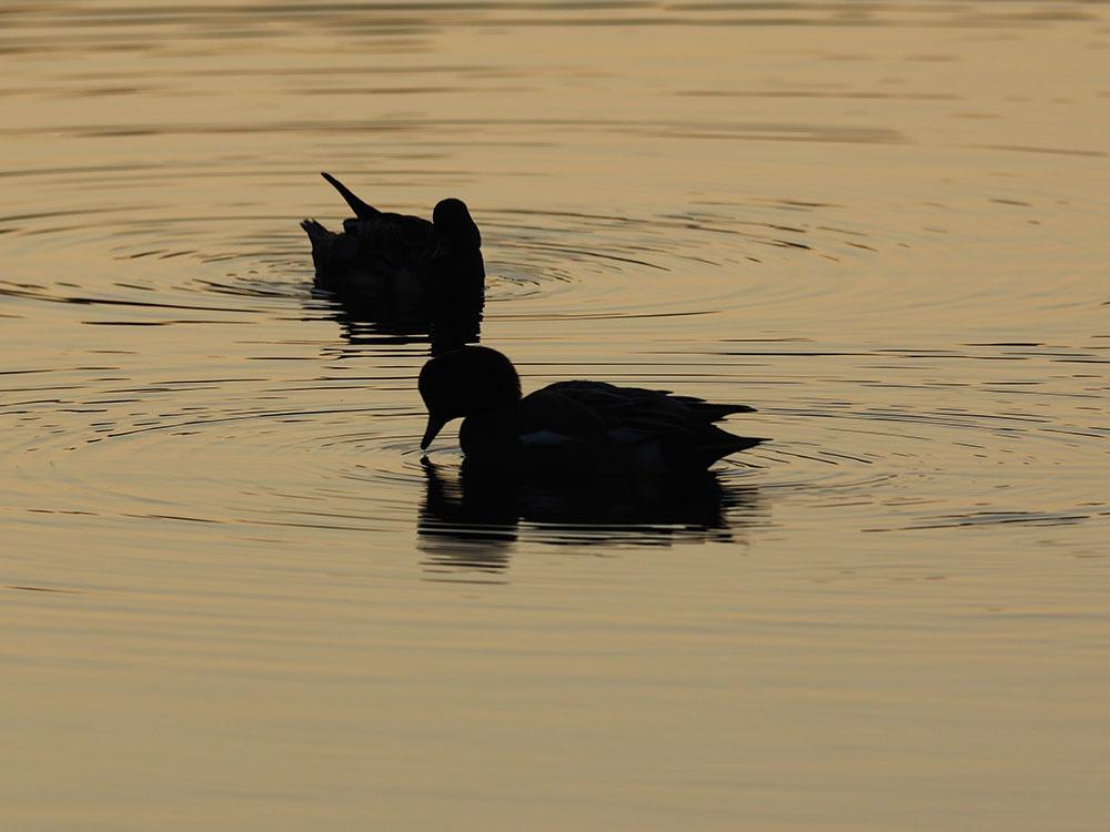 市川 いつもの池のカワセミやその他水鳥たち そして春に向けてチョウの撮影_f0324026_18564505.jpg