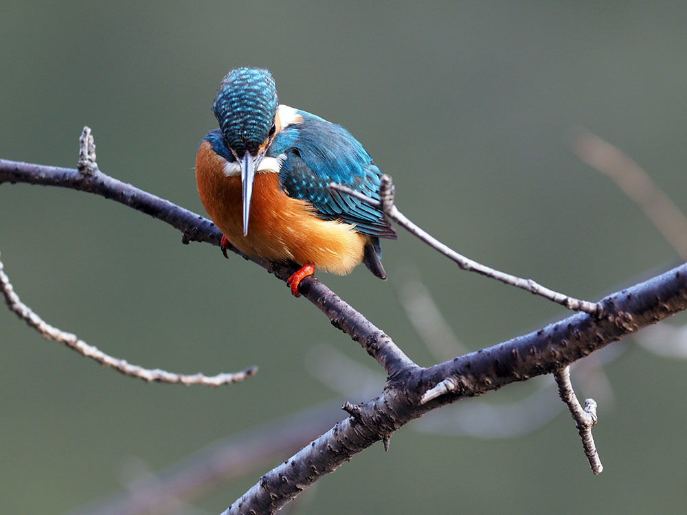 市川 いつもの池のカワセミやその他水鳥たち そして春に向けてチョウの撮影_f0324026_18585508.jpg