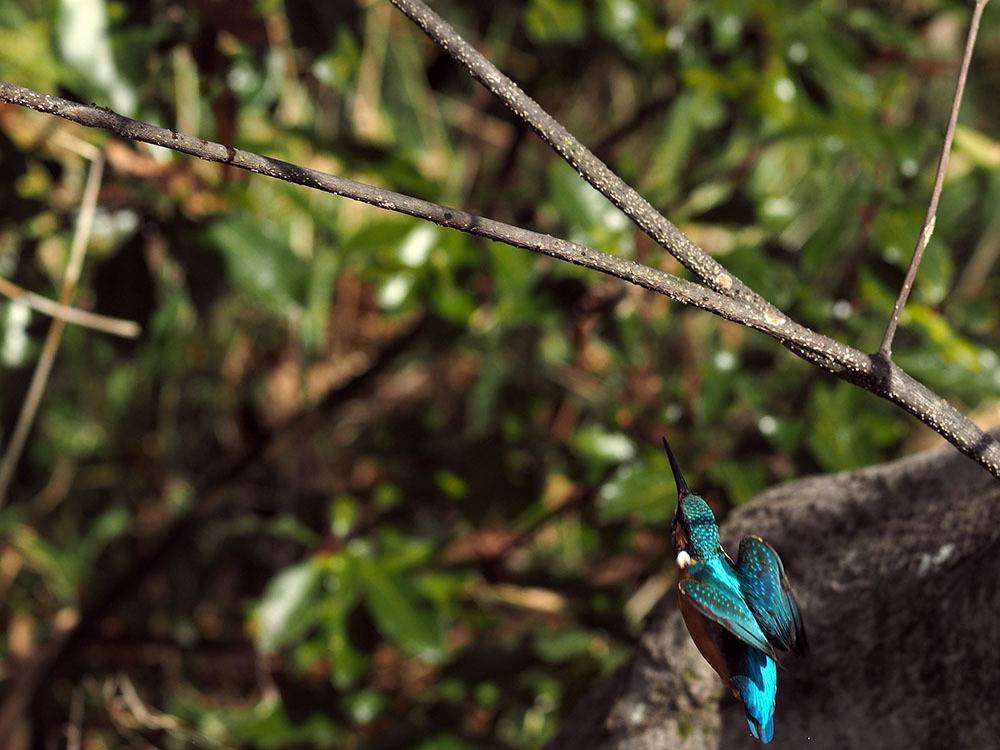 市川 いつもの池のカワセミやその他水鳥たち そして春に向けてチョウの撮影_f0324026_19152399.jpg