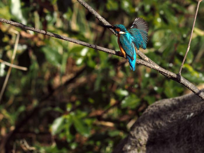 市川 いつもの池のカワセミやその他水鳥たち そして春に向けてチョウの撮影_f0324026_19162417.jpg