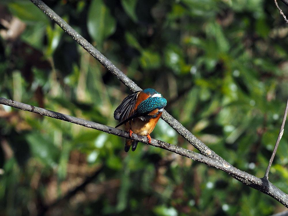 市川 いつもの池のカワセミやその他水鳥たち そして春に向けてチョウの撮影_f0324026_19164541.jpg