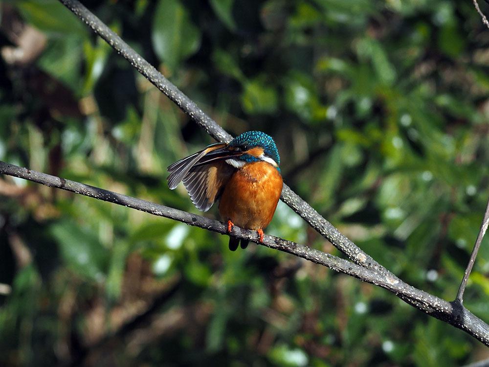市川 いつもの池のカワセミやその他水鳥たち そして春に向けてチョウの撮影_f0324026_19165759.jpg