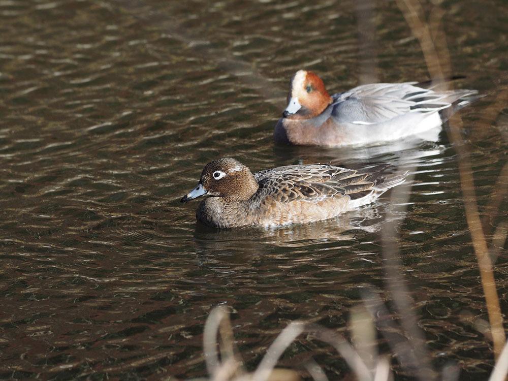 市川 いつもの池のカワセミやその他水鳥たち そして春に向けてチョウの撮影_f0324026_19204268.jpg