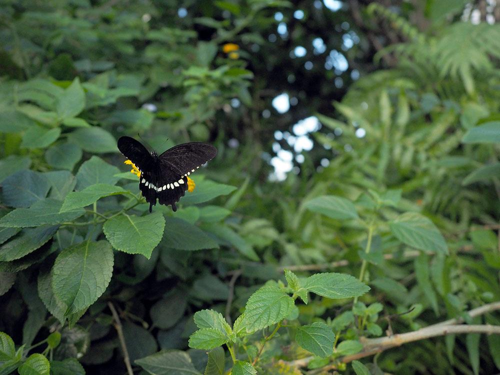 市川 いつもの池のカワセミやその他水鳥たち そして春に向けてチョウの撮影_f0324026_19323766.jpg