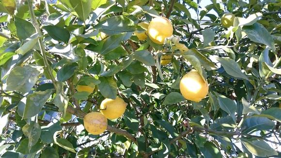 レモンがいっぱい!!!_e0040673_17534584.jpg