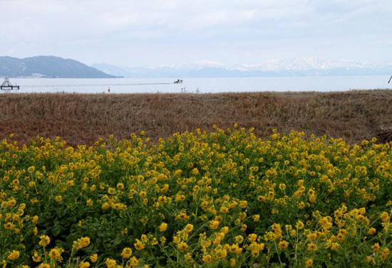 菜の花満開 第一なぎさ公園_e0048413_2023188.jpg