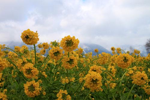 菜の花満開 第一なぎさ公園_e0048413_2025181.jpg