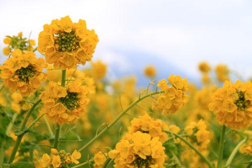 菜の花満開 第一なぎさ公園_e0048413_2025846.jpg