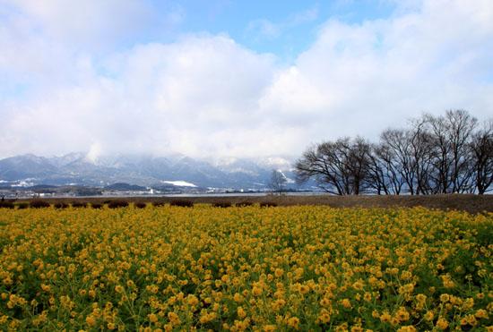菜の花満開 第一なぎさ公園_e0048413_202775.jpg