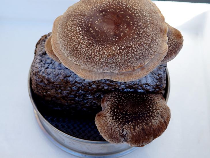 【椎茸の菌床栽培やってます/あき流の育て方レシピ><♪】Ww~@@!何処まで育つのかなぁヾ(^▽^)ノ_b0033423_17184113.jpg