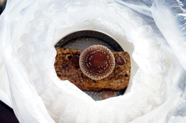 【椎茸の菌床栽培やってます/あき流の育て方レシピ><♪】Ww~@@!何処まで育つのかなぁヾ(^▽^)ノ_b0033423_1764610.jpg