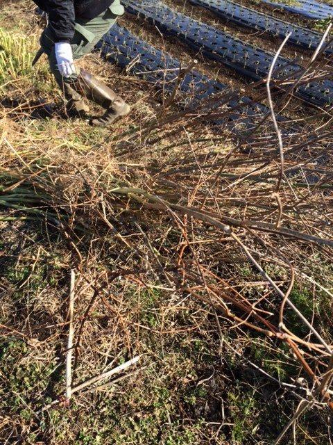 今朝は 大田君と飯田、赤坂さんの3名 フェンネルの刈り込みと葉物の収穫_c0222448_18342418.jpg