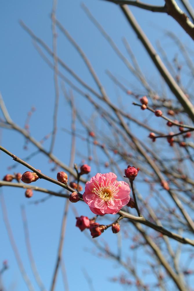 梅の季節を先取り_e0089232_15300562.jpg