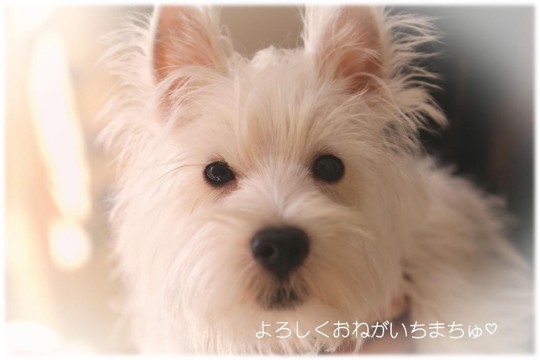 ☆ ウエスティの赤ちゃん(^^) ☆_a0161111_23144571.jpg
