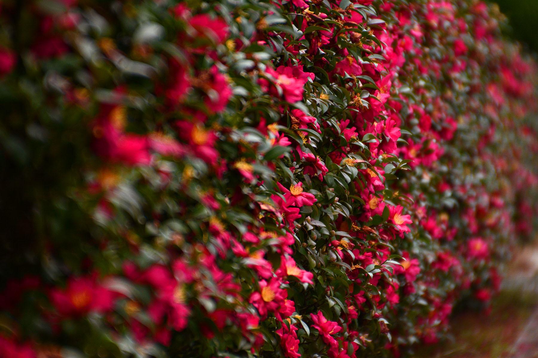 サンサカ(山茶花)がなまりて サザンカとなる_a0102098_18000839.jpg