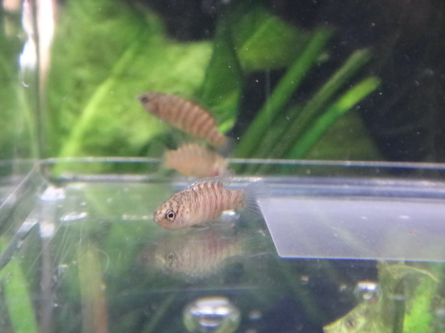 150122 熱帯魚・金魚・水草_f0189122_12555067.jpg