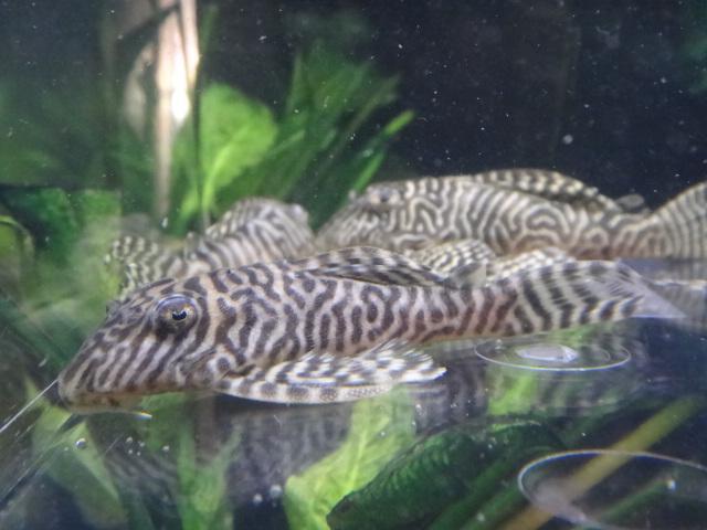 150122 熱帯魚・金魚・水草_f0189122_1312879.jpg