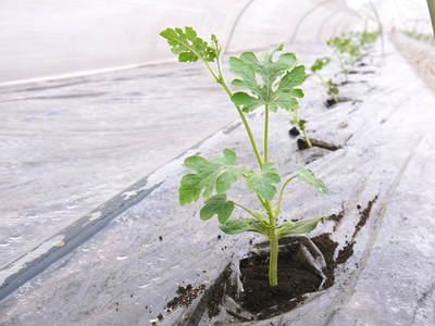 夢スイカ 大玉スイカ『春のだんらん』を4月中旬の出荷に向け定植しました _a0254656_16482138.jpg