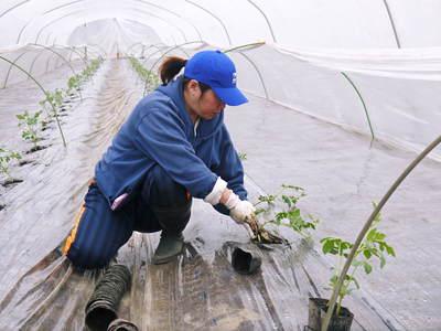 夢スイカ 大玉スイカ『春のだんらん』を4月中旬の出荷に向け定植しました _a0254656_17301076.jpg