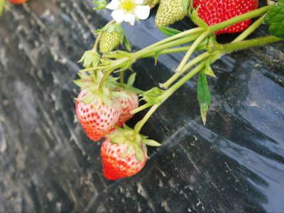 完熟紅ほっぺ 2番果が順調に実り朝摘み好評発売中&ミツバチのお話し_a0254656_18403695.jpg