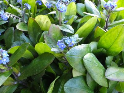 オークリーフ(青い忘れな草と、黄色いミモザ)_f0049672_1324424.jpg