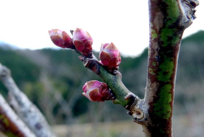 春を待つ梅のつぼみ_b0145296_15252331.jpg