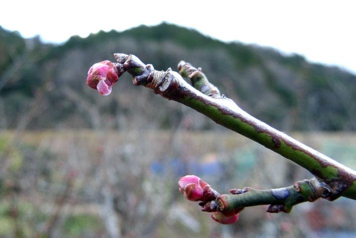春を待つ梅のつぼみ_b0145296_15252921.jpg