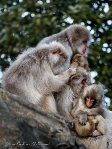 動物のいる風景 上野動物園 ニホンザル団子_b0133053_0114363.jpg