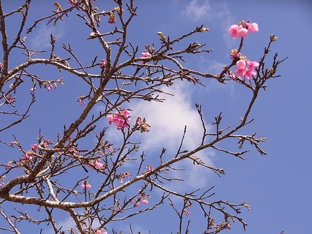 八重瀬町の桜_e0158687_12544858.jpg
