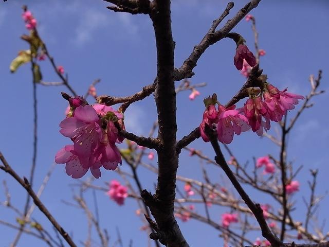 八重瀬町の桜_e0158687_12552570.jpg
